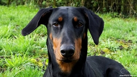 Dobermann Ebony